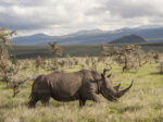 Lewa Wildlife Conservancy : Reviving Africa's Rhinos